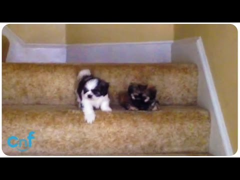 Shih Tzu Puppies' First Time With Stairs | Stair Scare