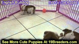English Bulldog, Puppies , For, Sale, In Staten Island, New York, Ny, Brooklyn, County, Borough