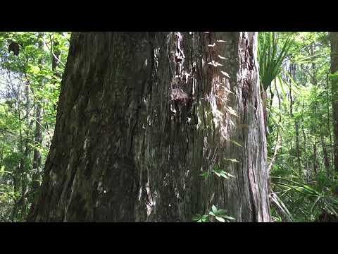 Old Cypress Trees at Chassahowitzka Wildlife Management Area