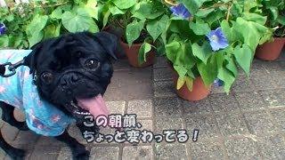 黒パグナイトが東京都国立市くにたち朝顔市2010をワンワンレポート♪一橋...