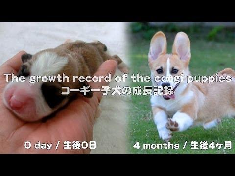 cute corgi puppies growth record / コーギー子犬の成長記録 20130527 - 20130928 Goro@Welsh corgi