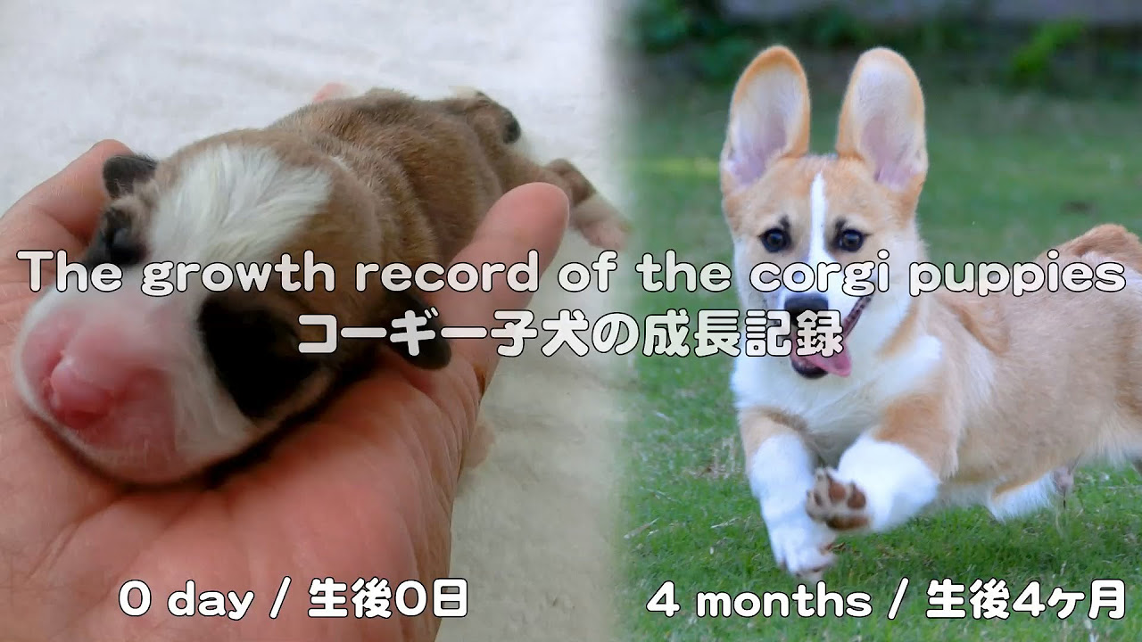 cute corgi puppies growth record / コーギー子犬の成長記録 20130527 - 20130928 Goro@Welsh corgi