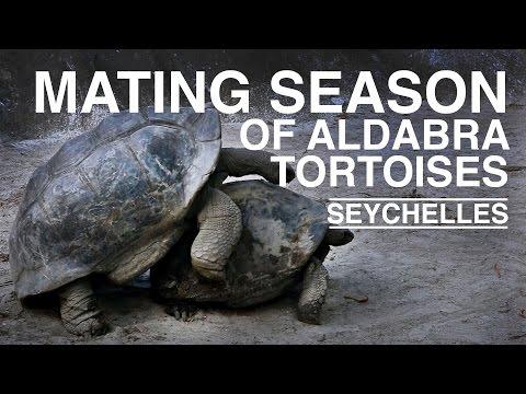 Seychelles: The Mating Season of Aldabra Tortoises