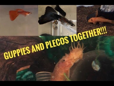 Breeding For Profit: Guppies And Plecos (the Best Combination!!!)