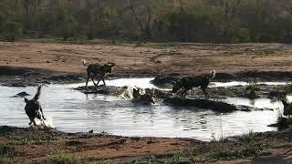 Spirited Adventures - African Wild Dogs