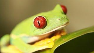 Размножение самой известной лягушки. Красноглазая квакша (agalychnis callidryas).