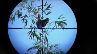 Tutorial Menembak Burung dari Jarak 40 meter sampai 70 meter