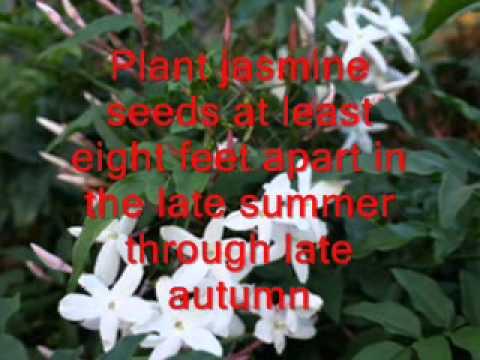 Jasmine National Flower Of Pakistan Youtube