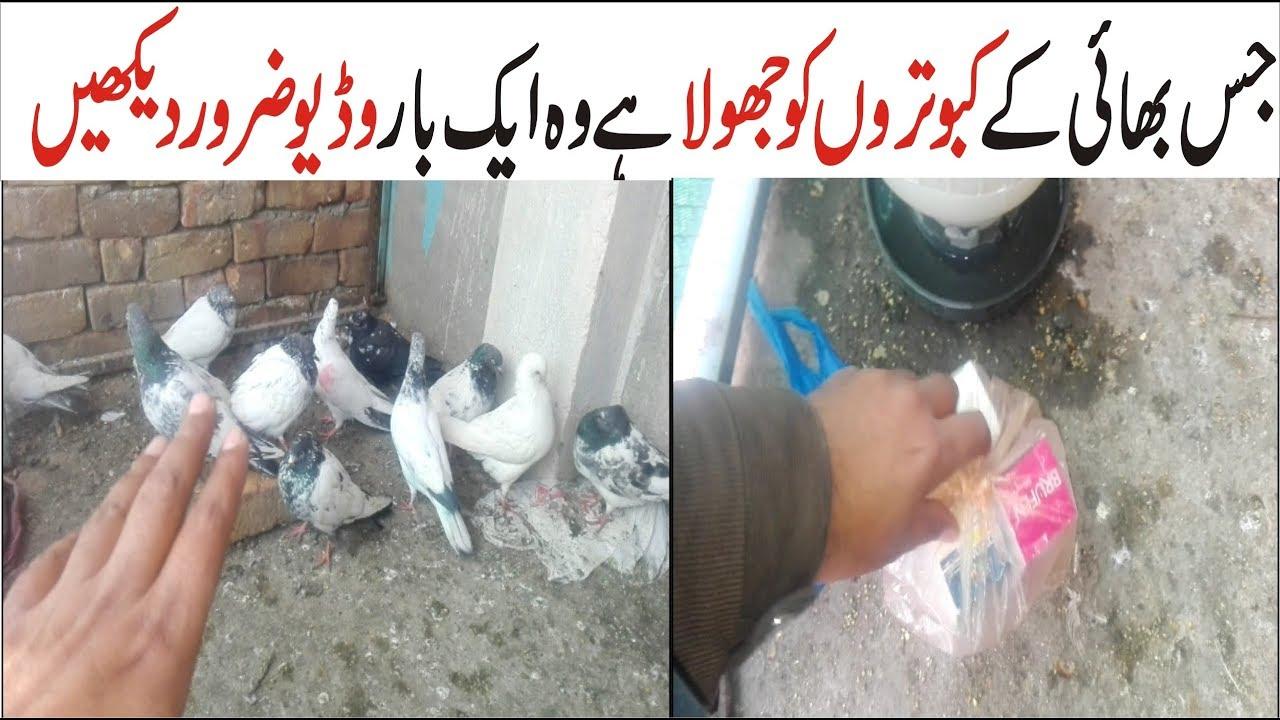 Download kabootar k jholy or laqway ka  ilaj 100% best !! pigeons care tips