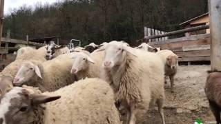 ¡EMOCIONANTES IMÁGENES! Ovejas y cabras felices en un nuevo día