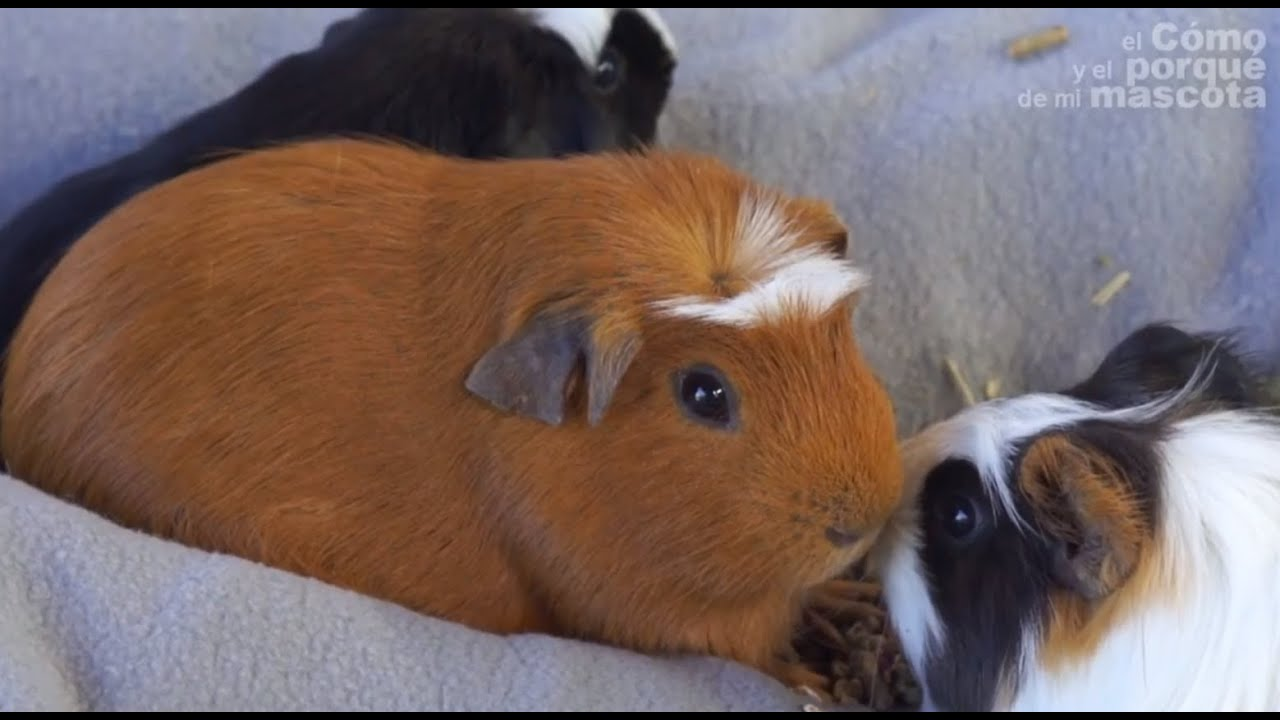 how to tell the sex of your guinea pig