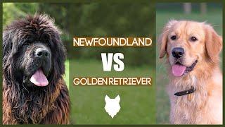 NEWFOUNDLAND VS GOLDEN RETRIEVER