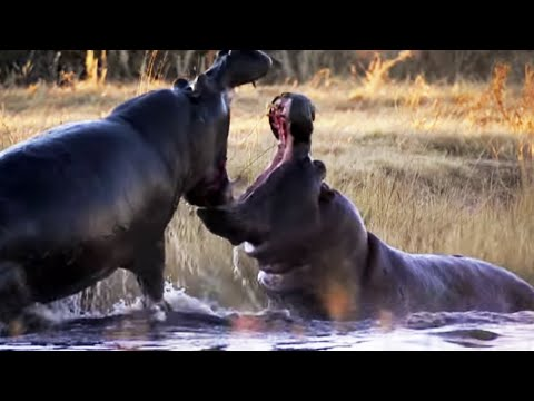Angry Hippos Fight for Mate | Nature's Great Events | BBC