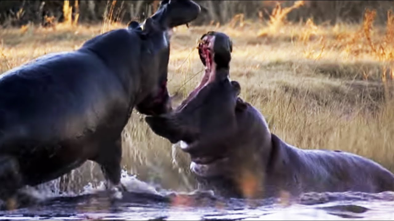angry hippos fight for mate natures great events bbc youtube - Pictures Of Hippos