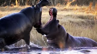 Angry Hippos Fight for Mate | Nature's Great Events | BBC Earth