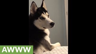 Husky literally cries tears when owner leaves home Mp3