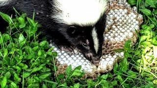 skunk-vs-hornets-nest-yellow-jackets-wasps-nest-destroyed