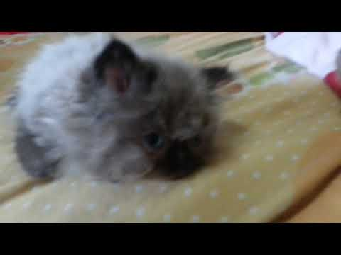 Introducing My new 2 Month old Siamese-Himalayan Female Kitten Mochi
