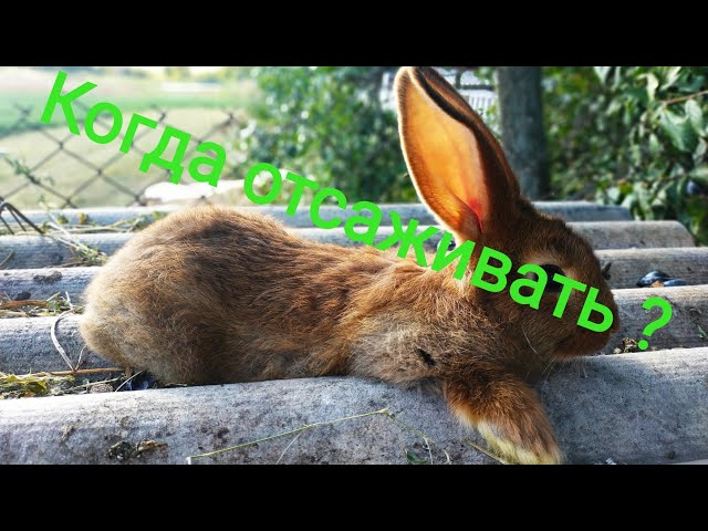 В каком возрасте  отсаживать крольчат от крольчихи?//Жизнь в деревне !!!