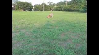 秋田ミックスの子犬(14週齢)とボール遊びをしているところ。 しつこ...