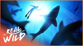 Are Shark Divers Pushing The Boundaries Too Far? | The Blue Realm | Real Wild