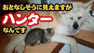 子猫のぽんぷくんのハンター気質!先住犬(ぼん・スー・ちゅー)ご用心...