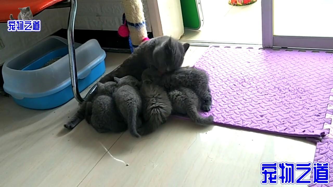 【宠物之道】几只小奶猫肚子吃得溜圆,还粘着猫妈妈抢吃的,主人都看不下去了