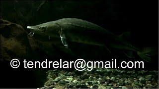 Esturgeons, des poissons sans écailles