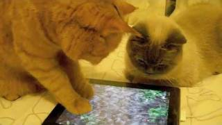 iPad Cat - Tiger playing with iPad.m4v