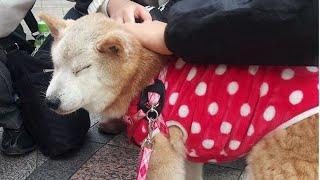 迷い犬リャン、飼い主と2年ぶりの対面 Losted Shiba Inu met owner after  2 years
