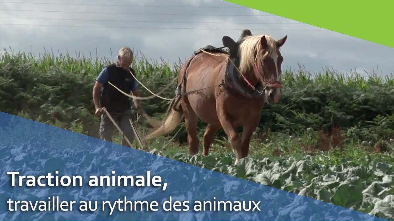 La traction animale en agriculture biologique