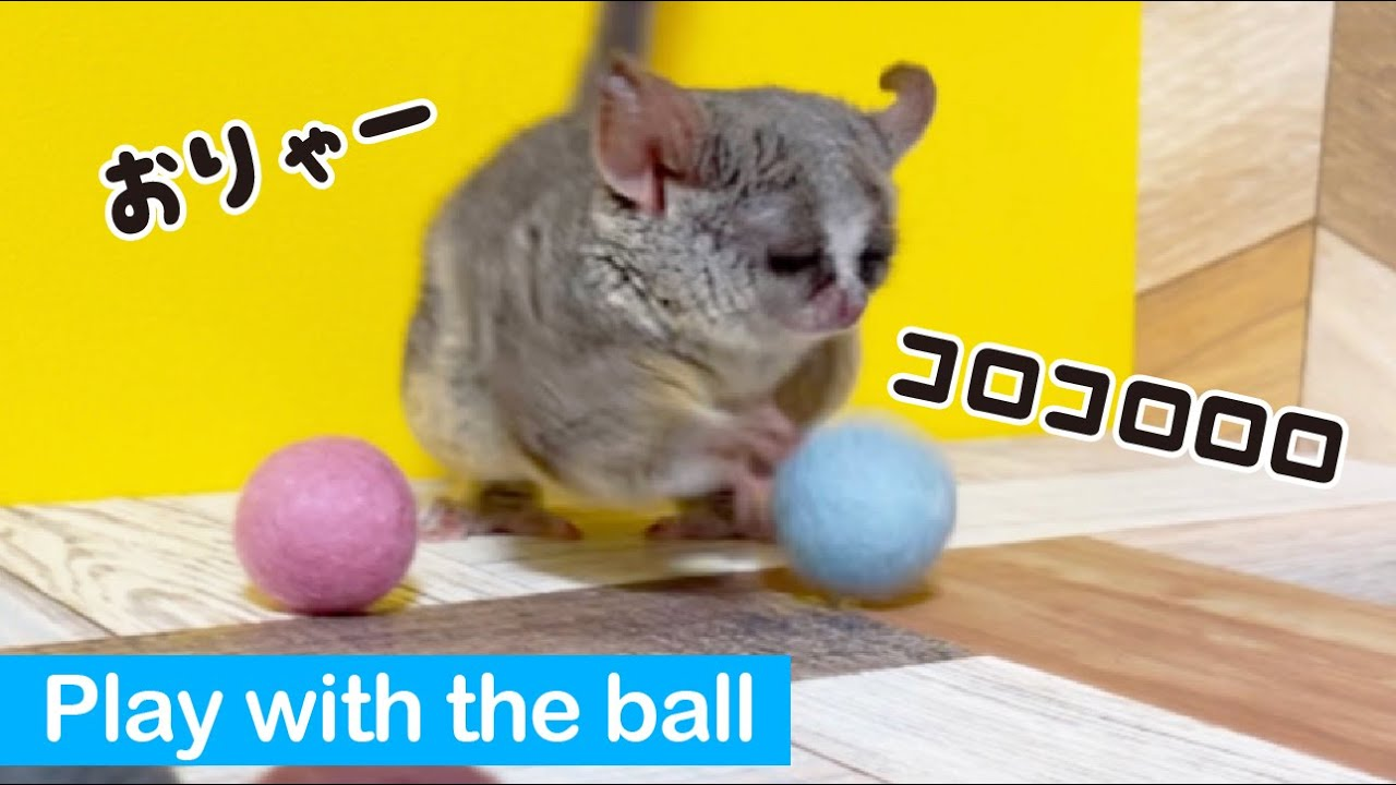 癖の強いボール遊びをする猿 / Play with the ball! Pizzatoru the Bushbaby / ショウガラゴのピザトル