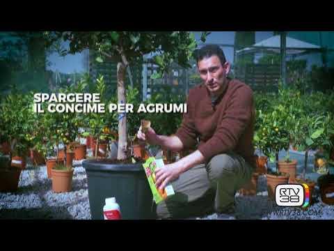 Calendario Concimazione Agrumi.La Concimazione Dei Limoni