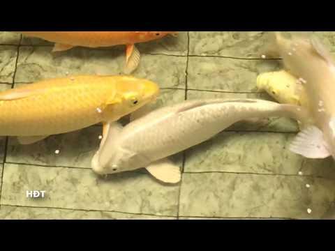 Hồ Koi mini ! Cá Koi 300k 1kg Sau 9 Tháng nuôi 😍😍😍