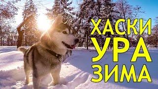 ХАСКИ ПЕРВЫЙ СНЕГ / HUSKY FIRST SNOW