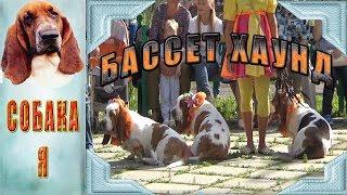 Басссет хаунд.Удивительная порода. Собаки. Basset hound.Wonderful breed. Dog.