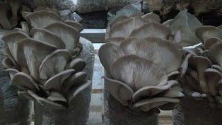 От чего зависит урожайность вешенки. Сколько грибов можно собрать с одного блока. Часть 2