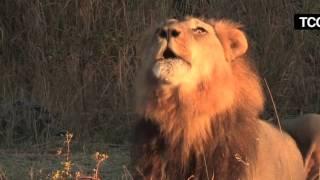 Lion vs Tiger (Leon vs Tigre) Perfect Predators