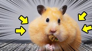 How Much Food Can my Big Hamster Stuff In Cheeks?