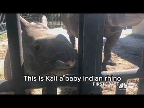 White Oak Conservation raising rare baby rhinos and mountain bongo