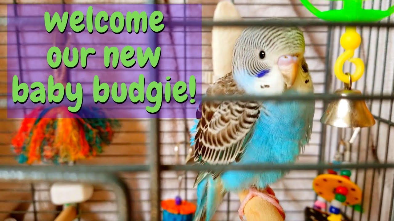 NEW BABY BUDGIE!   We Got A New Bird!