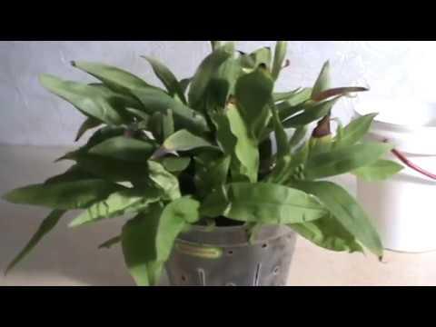 Орхидея Променея в домашних условиях.