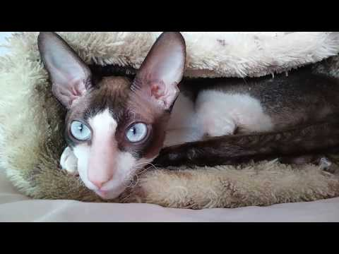 Cornish Rex Ulrico!