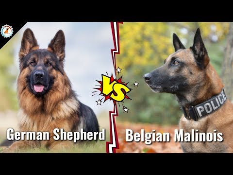 German Shepherd Vs Belgium Malinois | in Hindi | dog va dog | German shepherd Vs Belgium malinois