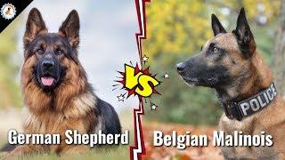 German Shepherd Vs Belgium Malinois | in Hindi | dog va dog | German shepherd Vs Belgium malinois