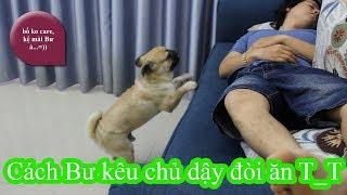 PUGK - Cách Chó Pug đánh thức chủ dậy để đòi ăn =)) Xem thằng Bư nó phá tui ngủ kìa T_T