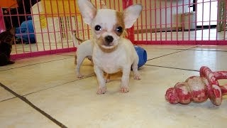 Chihuahua, Puppies, For, Sale, In, Raleigh, North Carolina, Nc, Lumberton, Kernersville, Mint Hill,