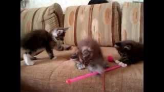 Котята мейн-кун 1,5 месяца