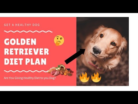 Golden Retriever | diet plan | amazing facts in hindi | Animal Channel Hindi