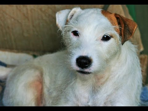 Parson russell terrier dog breed youtube - Jack russel queue coupee ...